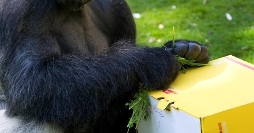 DHL przetransportował dziewięć goryli na wolność