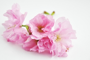 blossom-1421620-m