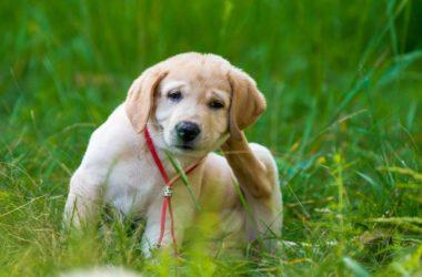 Jak ochronić psiaka przed pchłami?