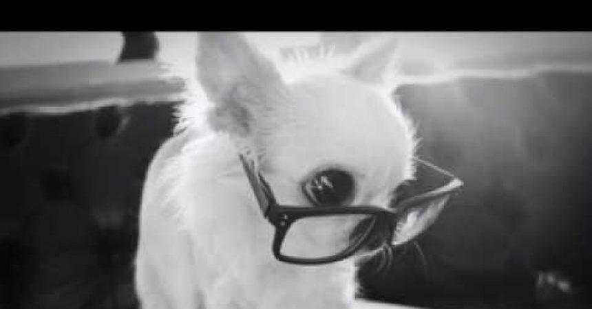 Idealny poradnik kynologiczny dla miłośników Chihuahua