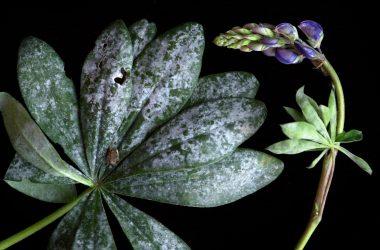 Środek grzybobójczy – siarkol na pomoc twoim roślinom