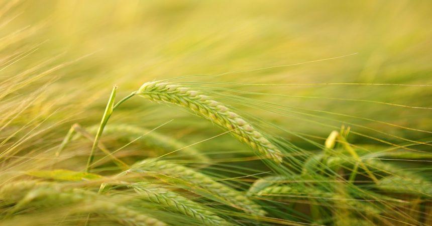 Jęczmień zielony – jakie posiada właściwości?